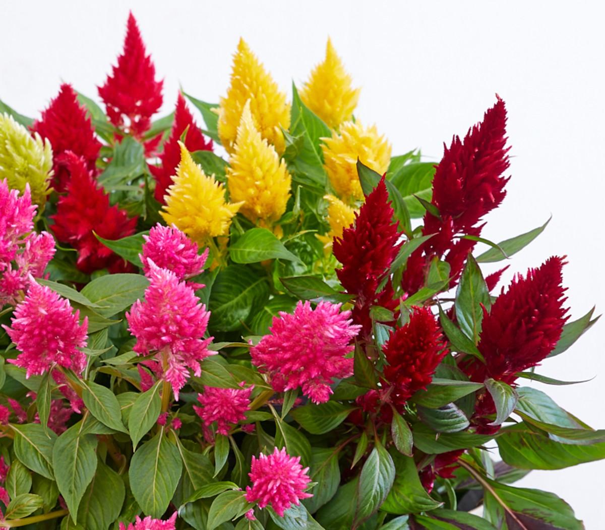 Bekannt Noviflora | Celosia - Blühendes Juwel für Drinnen und Draußen | 06 NY92